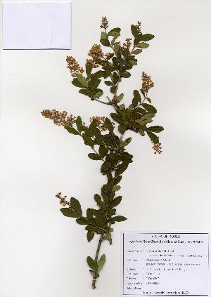 (Ligustrum ibota - PDBK2004-0892)  @11 [ ] Copyright (2004) Ki Joong Kim Korea University Herbarium (KUS)