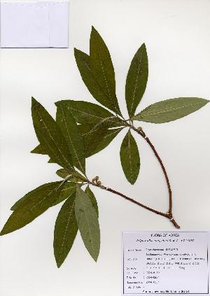 (Edgeworthia - PDBK2004-0927)  @11 [ ] Copyright (2004) Ki Joong Kim Korea University Herbarium (KUS)