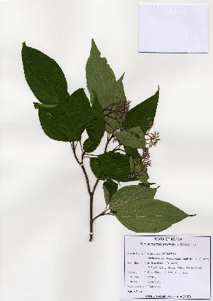 (Cornus macrophylla - PDBK2004-0945)  @11 [ ] Copyright (2004) Ki Joong Kim Korea University Herbarium (KUS)