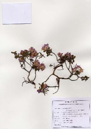 ( - PDBK2004-1118)  @11 [ ] Copyright (2004) Ki Joong Kim Korea University Herbarium (KUS)