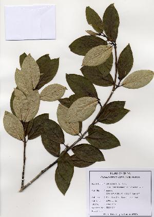 (Populus maximowiczii - PDBK2004-1277)  @11 [ ] Copyright (2004) Ki Joong Kim Korea University Herbarium (KUS)