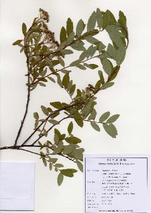 (Spiraea media - PDBK2004-1321)  @11 [ ] Copyright (2004) Ki Joong Kim Korea University Herbarium (KUS)
