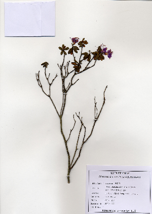 ( - PDBK2004-1350)  @11 [ ] Copyright (2004) Ki Joong Kim Korea University Herbarium (KUS)