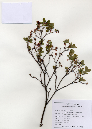 ( - PDBK2004-1352)  @11 [ ] Copyright (2004) Ki Joong Kim Korea University Herbarium (KUS)