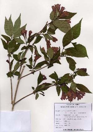 (Weigela florida - PDBK2005-0014)  @11 [ ] Copyright (2005) Ki Joong Kim Korea University Herbarium (KUS)