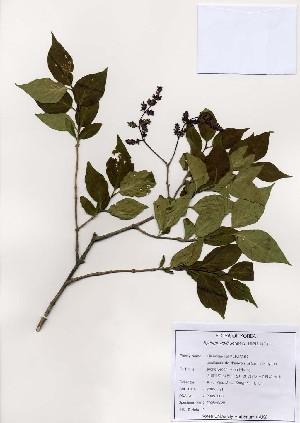 (Syringa - PDBK2005-0036)  @11 [ ] Copyright (2005) Ki Joong Kim Korea University Herbarium (KUS)