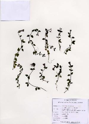 (Mitchella - PDBK2005-0393)  @11 [ ] Copyright (2005) Ki Joong Kim Korea University Herbarium (KUS)