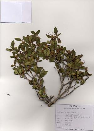 (Rhododendron dauricum - PDBK2005-0400)  @11 [ ] Copyright (2005) Ki Joong Kim Korea University Herbarium (KUS)