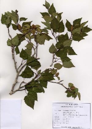 (Betula ermanii - PDBK2005-0413)  @11 [ ] Copyright (2005) Ki Joong Kim Korea University Herbarium (KUS)