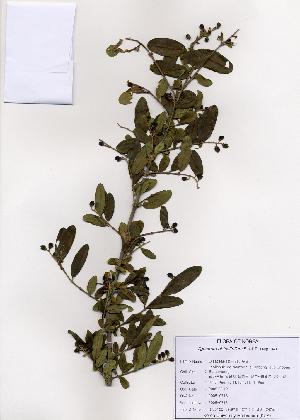 (Ligustrum obtusifolium - PDBK2005-0718)  @11 [ ] Copyright (2005) Ki Joong Kim Korea University Herbarium (KUS)