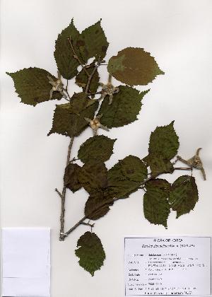 (Corylus sieboldiana - PDBK2005-0740)  @11 [ ] Copyright (2005) Ki Joong Kim Korea University Herbarium (KUS)