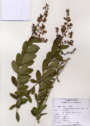 (Spiraea salicifolia - PDBK2005-0835)  @11 [ ] Copyright (2005) Ki Joong Kim Korea University Herbarium (KUS)
