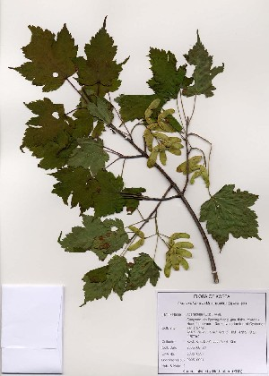 (Acer barbinerve - PDBK2005-0991)  @13 [ ] Copyright (2005) Ki Joong Kim Korea University Herbarium (KUS)