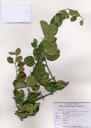 (Paliurus - PDBK2005-1384)  @11 [ ] Copyright (2005) Ki Joong Kim Korea University Herbarium (KUS)
