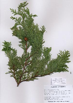 (Chamaecyparis - PDBK2006-0027)  @11 [ ] Copyright (2006) Ki Joong Kim Korea University Herbarium (KUS)