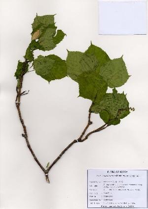 (Acer tegmentosum - PDBK2006-0288)  @13 [ ] Copyright (2006) Ki Joong Kim Korea University Herbarium (KUS)