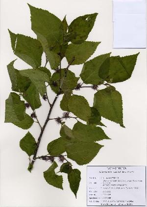 (Broussonetia - PDBK2006-0381)  @11 [ ] Copyright (2006) Ki Joong Kim Korea University Herbarium (KUS)