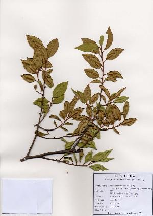 (Elaeagnus maritima - PDBK2006-0798)  @11 [ ] Copyright (2006) Ki Joong Kim Korea University Herbarium (KUS)