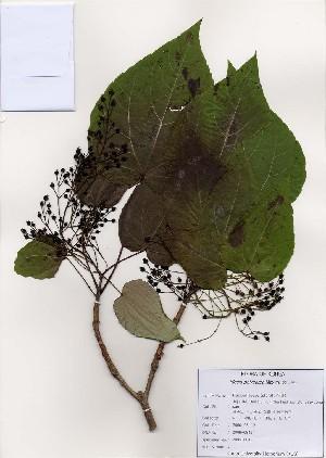 (Idesia - PDBK2006-0845)  @11 [ ] Copyright (2006) Ki Joong Kim Korea University Herbarium (KUS)