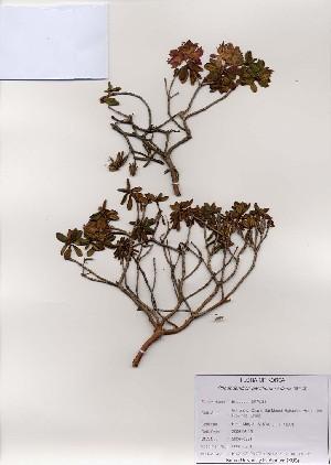 ( - PDBK2006-0951)  @11 [ ] Copyright (2006) Ki Joong Kim Korea University Herbarium (KUS)