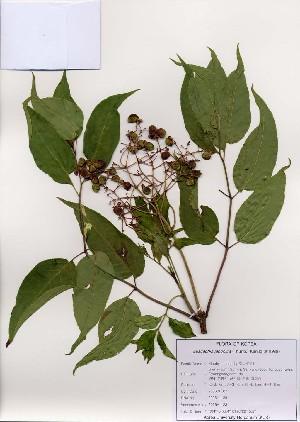 (Euscaphis - PDBK2006-1123)  @11 [ ] Copyright (2006) Ki Joong Kim Korea University Herbarium (KUS)