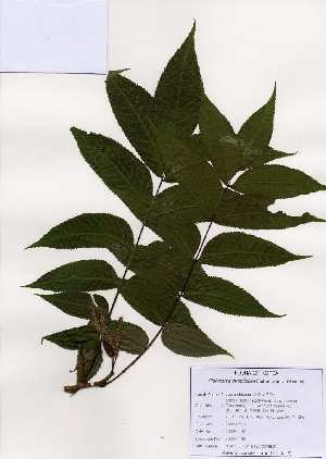 (Juglandaceae - PDBK2006-1130)  @11 [ ] Copyright (2006) Ki Joong Kim Korea University Herbarium (KUS)