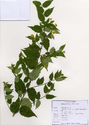 (Kerria - PDBK2006-1148)  @11 [ ] Copyright (2006) Ki Joong Kim Korea University Herbarium (KUS)