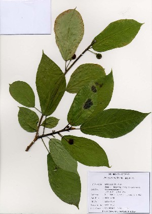 (Ficus erecta - PDBK2006-1159)  @11 [ ] Copyright (2006) Ki Joong Kim Korea University Herbarium (KUS)