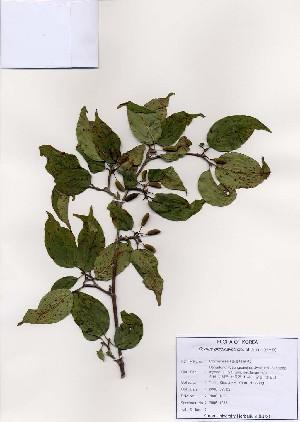 (Cornus officinalis - PDBK2006-1277)  @11 [ ] Copyright (2006) Ki Joong Kim Korea University Herbarium (KUS)