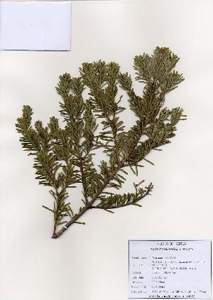 (Abies - PDBK2006-2464)  @14 [ ] Copyright (2006) Ki Joong Kim Korea University Herbarium (KUS)