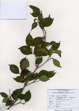 (Cornus kousa - PDBK2006-2479)  @11 [ ] Copyright (2006) Ki Joong Kim Korea University Herbarium (KUS)