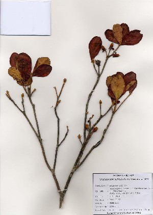 (Rhododendron schlippenbachii - PDBK2006-2550)  @11 [ ] Copyright (2006) Ki Joong Kim Korea University Herbarium (KUS)
