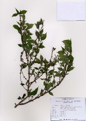 (Oreocnide - PDBK2007-0048)  @11 [ ] Copyright (2007) Ki Joong Kim Korea University Herbarium (KUS)
