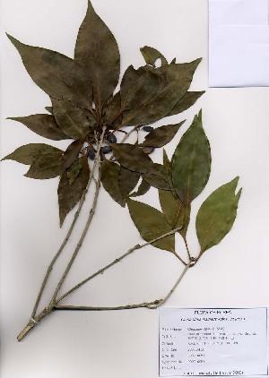 (Osmanthus - PDBK2007-0051)  @11 [ ] Copyright (2007) Ki Joong Kim Korea University Herbarium (KUS)