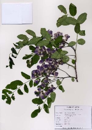 (Robinia - PDBK2007-0177)  @11 [ ] Copyright (2007) Ki Joong Kim Korea University Herbarium (KUS)