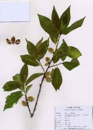 (Prunus armeniaca - PDBK2007-0195)  @11 [ ] Copyright (2007) Ki Joong Kim Korea University Herbarium (KUS)