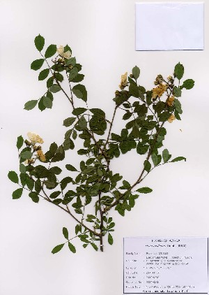 ( - PDBK2007-0212)  @11 [ ] Copyright (2007) Ki Joong Kim Korea University Herbarium (KUS)