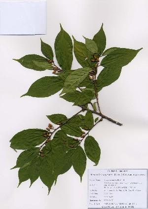 (Rhamnella - PDBK2007-0427)  @11 [ ] Copyright (2007) Ki Joong Kim Korea University Herbarium (KUS)
