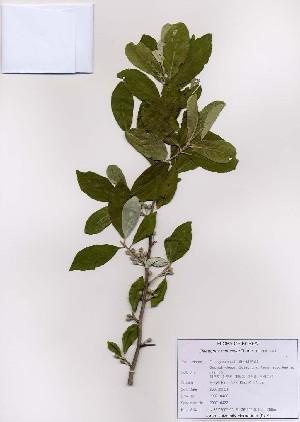 ( - PDBK2007-0433)  @11 [ ] Copyright (2007) Ki Joong Kim Korea University Herbarium (KUS)