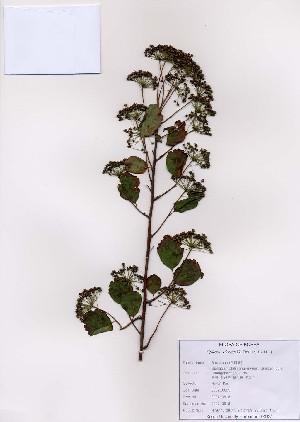 (Spiraea blumei - PDBK2007-0618)  @11 [ ] Copyright (2007) Ki Joong Kim Korea University Herbarium (KUS)