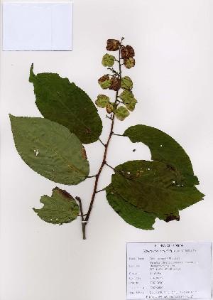 (Tripterygium - PDBK2007-0630)  @11 [ ] Copyright (2007) Ki Joong Kim Korea University Herbarium (KUS)
