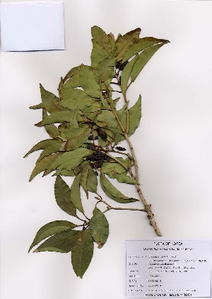 (Osmanthus - PDBK2008-0014)  @11 [ ] Copyright (2008) Ki Joong Kim Korea University Herbarium (KUS)