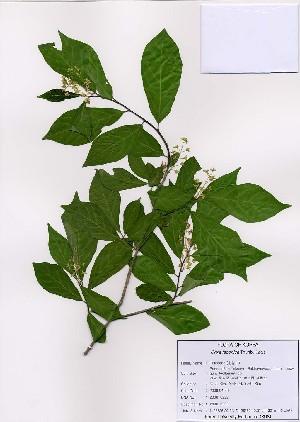 (Orixa - PDBK2008-0222)  @11 [ ] Copyright (2008) Ki Joong Kim Korea University Herbarium (KUS)