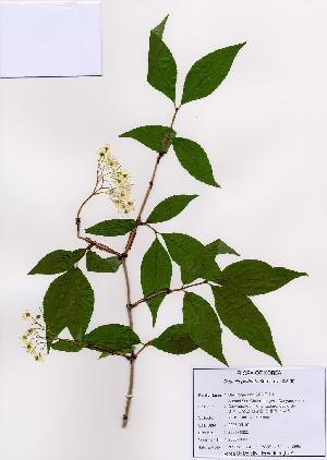 (Deutzia - PDBK2008-0365)  @11 [ ] Copyright (2008) Ki Joong Kim Korea University Herbarium (KUS)