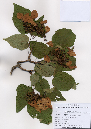 (Schizophragma - PDBK2008-0441)  @11 [ ] Copyright (2008) Ki Joong Kim Korea University Herbarium (KUS)