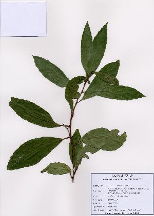 (Maesa - PDBK2008-0575)  @11 [ ] Copyright (2008) Ki Joong Kim Korea University Herbarium (KUS)