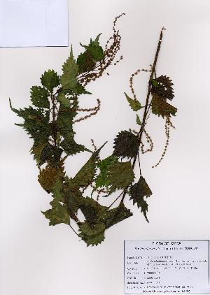 (Boehmeria - PDBK2008-0611)  @11 [ ] Copyright (2008) Ki Joong Kim Korea University Herbarium (KUS)