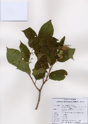 (Tripterygium - PDBK2008-0724)  @11 [ ] Copyright (2008) Ki Joong Kim Korea University Herbarium (KUS)