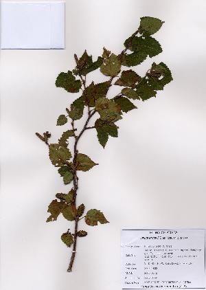 (Betula ermanii - PDBK2008-0742)  @11 [ ] Copyright (2008) Ki Joong Kim Korea University Herbarium (KUS)