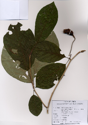 (Magnolia sieboldii - PDBK2008-0925)  @11 [ ] Copyright (2008) Ki Joong Kim Korea University Herbarium (KUS)